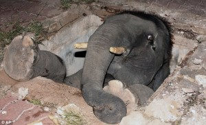 article 1205541 06033959000005DC 713 634x385 300x182 Baby elephant stuck after falling down manhole in Thailand