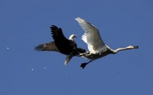 eagleVSswan 1459357c 300x187 Eagle swooped on swan