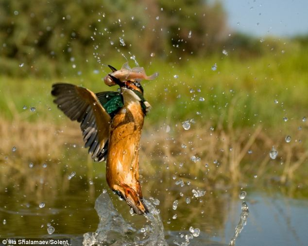 3 Terrified fish takes last gasp as kingfisher snaps up its supper