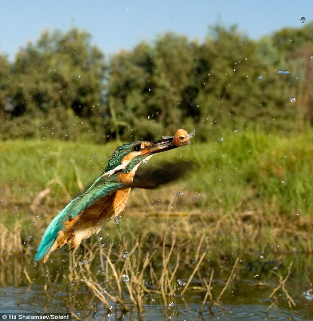4 Terrified fish takes last gasp as kingfisher snaps up its supper