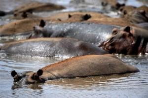 8888 300x199 Kenyas hippos hard hit by drought