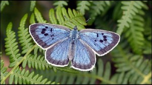blue butterfly 300x167  Google trick tracks extinctions