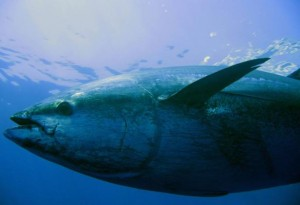 blue tuna 300x205 Political infighting threatens survival of the bluefin tuna