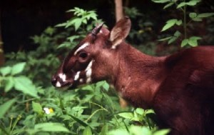 saola 300x189 New found Asian antelope said close to extinction