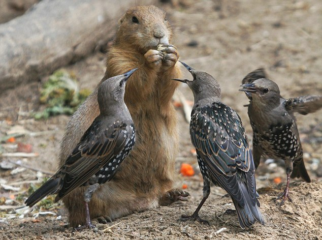 birds  You birds are nuts! Hungry prairie dog bravely fends off bullying starlings