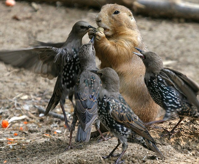 birds 11 You birds are nuts! Hungry prairie dog bravely fends off bullying starlings