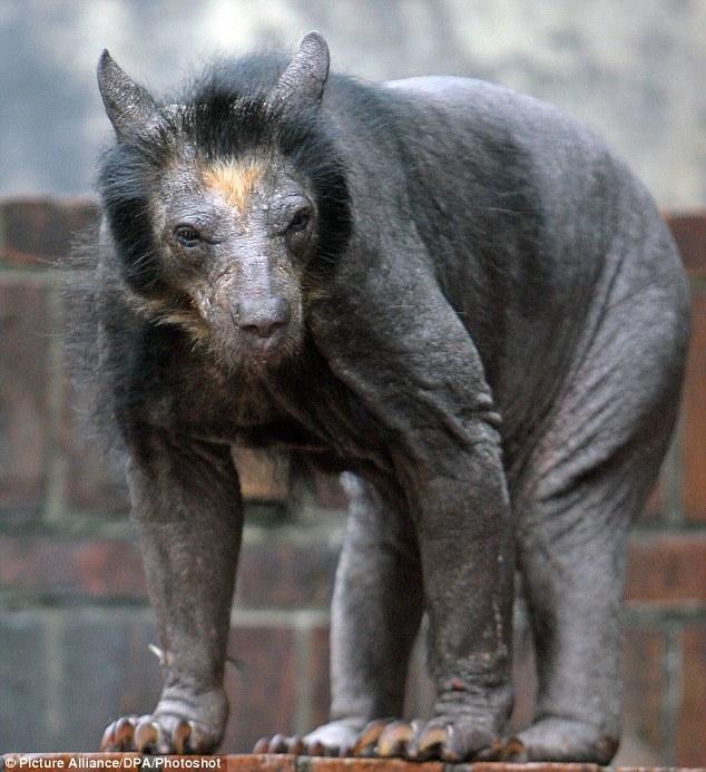 bald bear 1 Worlds First Bald Bear