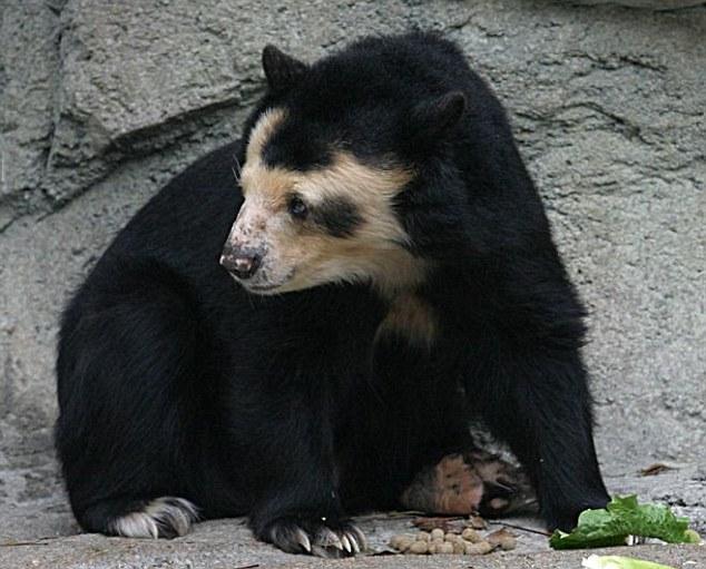 bald bear 4 Worlds First Bald Bear