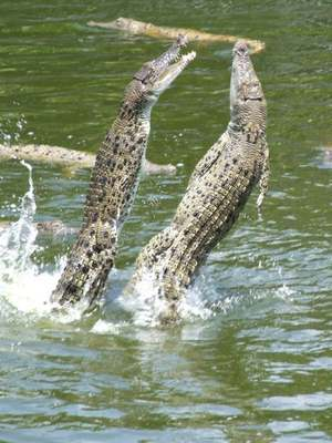 Crocodiles Feeding 13 Scary and dangerous Crocodiles Feeding