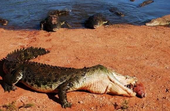 Crocodiles Feeding 18 Scary and dangerous Crocodiles Feeding