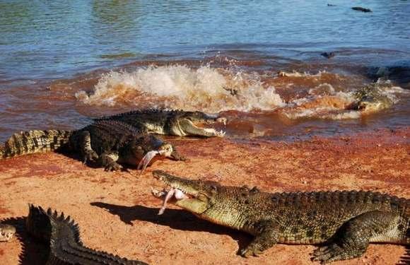 Crocodiles Feeding 19 Scary and dangerous Crocodiles Feeding