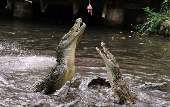Crocodiles Feeding 24 Scary and dangerous Crocodiles Feeding