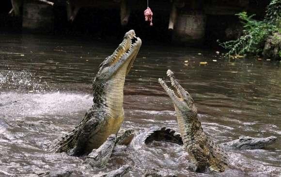 Crocodiles Feeding 24 Scary and dangerous Crocodiles Feeding