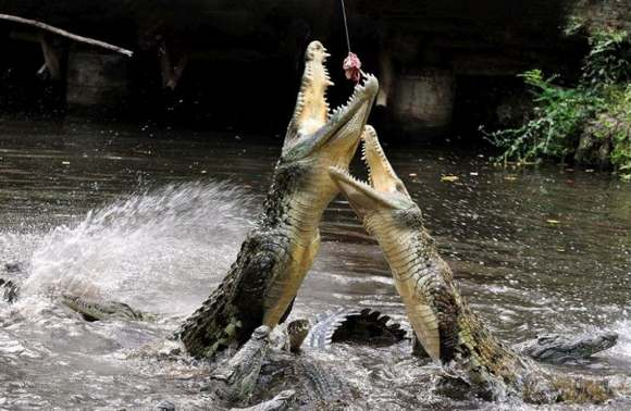 Crocodiles Feeding 25 Scary and dangerous Crocodiles Feeding