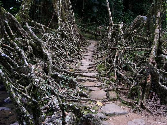 Living Root Bridges India 3 Living Root Bridges in India