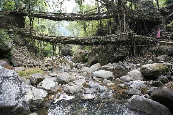 Living Root Bridges India 6 Living Root Bridges in India