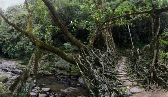 Living Root Bridges India 8 Living Root Bridges in India