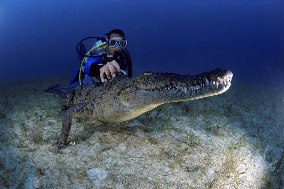 crocodile diving 1 Diving with 11ft crocodile