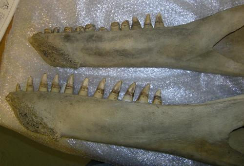 whaleteeth Killer Whales Are Evolving Into Two Different Species